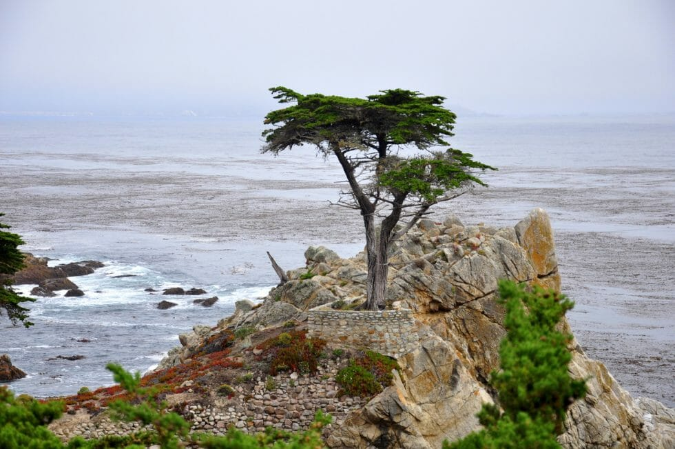 Pacific coast highway road trip itinerary includes this amazing tree on the 17 mile drive