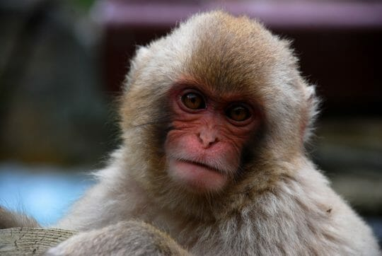Snow Monkey Park - Japan Itinerary