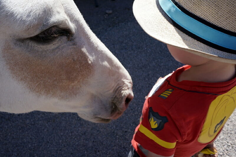 Wild Burros, Oatman AZ One of the Top 5 Stops on Route 66 Los Angeles to Grand Canyon That You MUST Visit