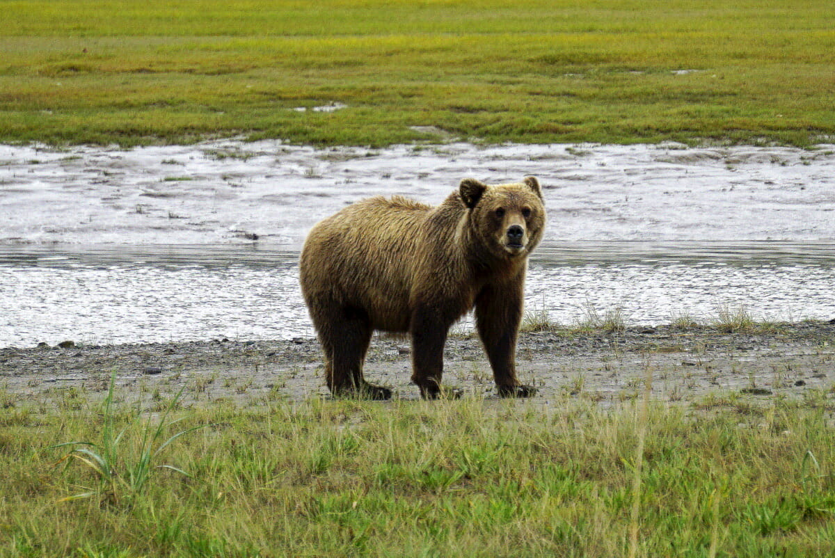 Bear Viewing In Alaska With Regal Air
