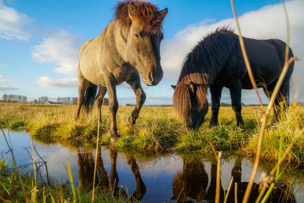 Riding an Icelandic Horse is must when in Iceland with kids