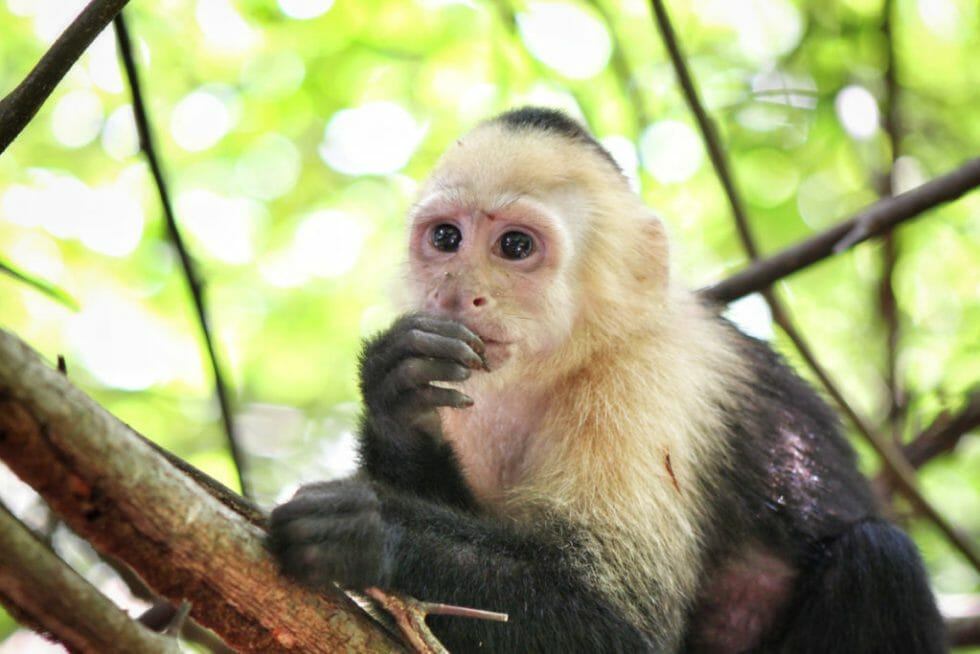 Seeing wildlife at the park is one of the Top Things to do At Manuel Antonio