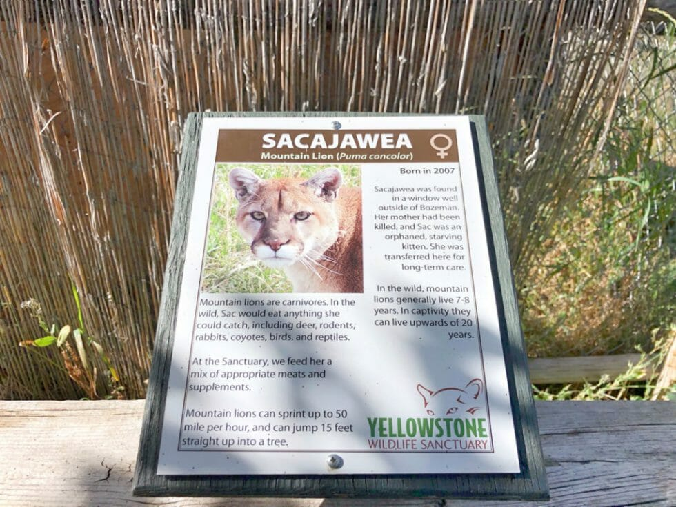 Meet Sacajawea, one of the mountain lions at the Red Lodge wildlife Sanctuary
